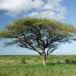 African Acacia tree — Stock Photo #4332417
