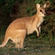 Agile Wallaby - Stock Photo