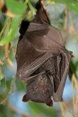 Black flying-fox — Stock Photo