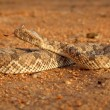 Horned adder — Stock Photo #4563244