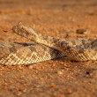 Stockfoto: Horned adder