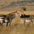 Cape Mountain Zebras — Stock Photo #4563264