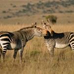 Cape Mountain Zebras — Stock Photo #4563264