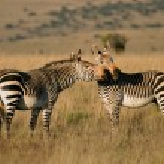 Cape Mountain Zebras — Stock Photo