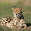 Cheetah — Stock Photo #4563272