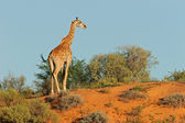 Giraffe on dune — Stock Photo