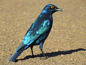 Greater blue-eared starling — Stock Photo