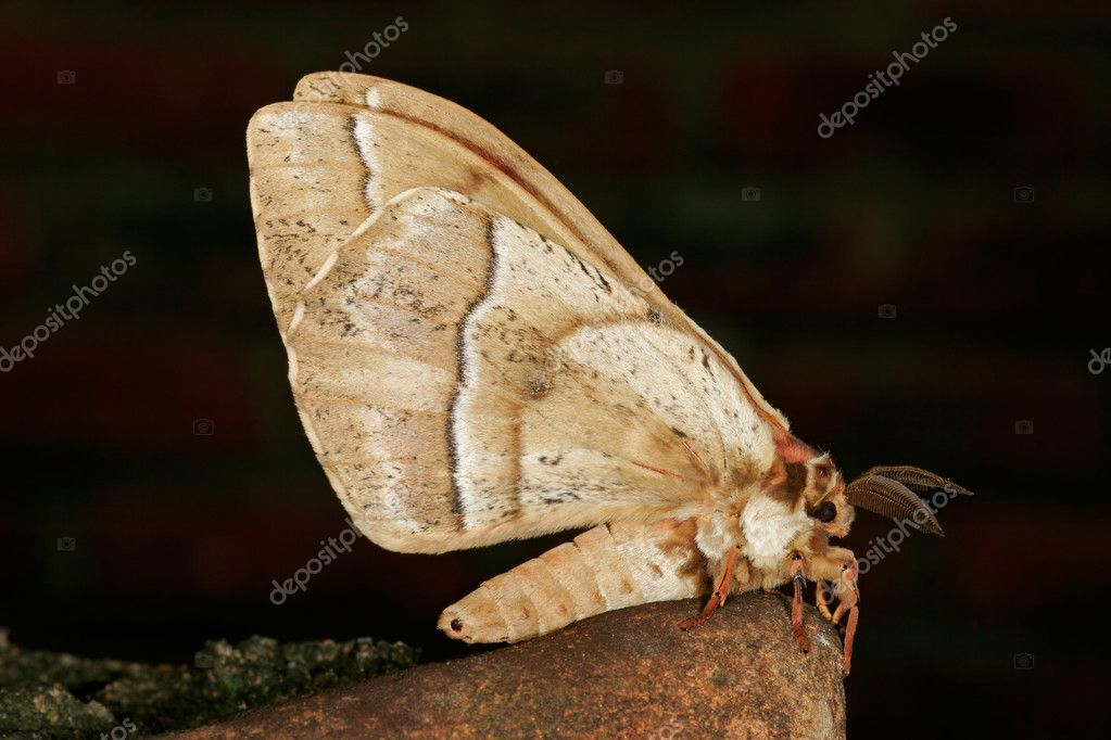 A nocturnal moth against a dark background  Stock Photo #4563281