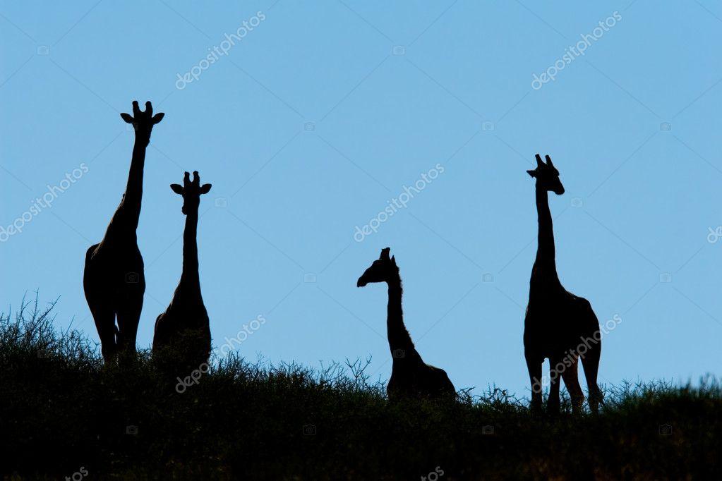 Giraffe Silhouette Silhouette of Giraffes on a
