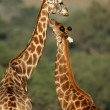 Giraffe interaction — Foto de stock #4634952