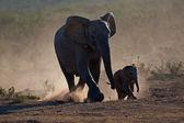 слоны в пыли — Стоковое фото