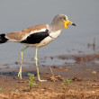 White-crowned lapwing — Stock Photo