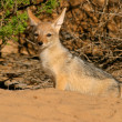 Black-backed Jackal — Stock Photo #4721737