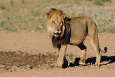 Black-maned African lion — Stock Photo