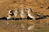 Cape sparrows — Stock Photo