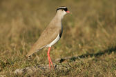 Crowned plover — Stock Photo