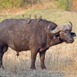 African buffalo bull — Stock Photo