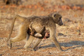 Chacma baboon with baby — Stock Photo
