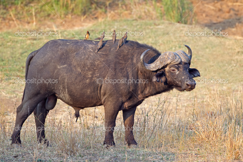 African or Cape buffalo bull (Syncerus caffer), Kruger National park, South Africa — Stock Photo #4743963