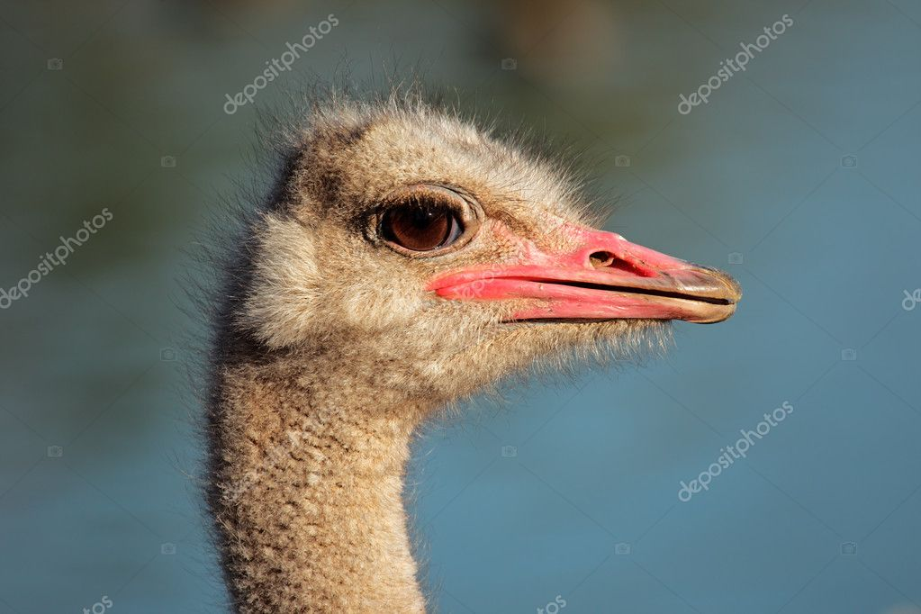 Portrait of an Ostrich (Struthio camelus), South Africa — Stock Photo #4743970