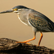 Green-backed heron — Stock Photo