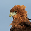 Bateleur portrait — Stock Photo