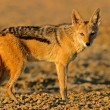 Black-backed Jackal — Stock Photo #4758491