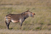 Cape Mountain Zebra — Stock Photo