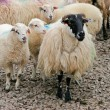 Stock Photo: Irish mountain sheep