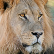 Stock Photo: Big male Africlion
