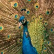 Stock Photo: Male peacock