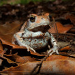 Red toad — Stock Photo