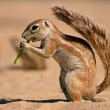 Stock Photo: Ground squirrel