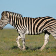Stock Photo: Plains Zebra