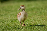 Egyptian goose duckling — Stock Photo