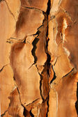 Quiver tree bark — Stock Photo