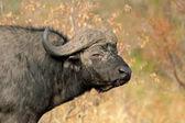 Bufalo africano — Foto Stock