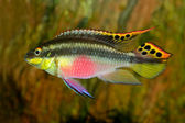 Kribensis (Purple Cichlid) — Stock Photo