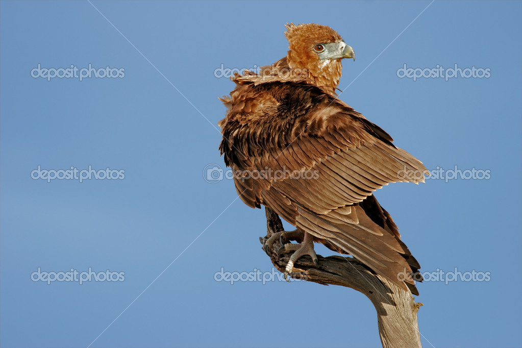 Immature Bateleur eagle (Terathopius ecaudatus) perched on a branch, Kalahari, South Africa — Stock Photo #4761749