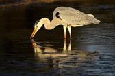 Grey heron in water — Stock Photo