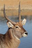 Waterbuck portrait — Stock Photo