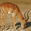 Black-faced Impala — Stock Photo #5237414