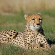 Cheetah — Stock Photo #5237433