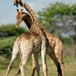 Stock Photo: Giraffes