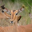 Impala portrait - Stock Photo