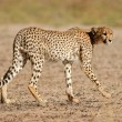 Stalking Cheetah — Stock Photo #5237597