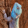 Tree agama — Stock Photo