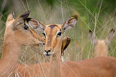Impala portrait — Stock Photo