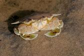 Swimming crab — Stock Photo