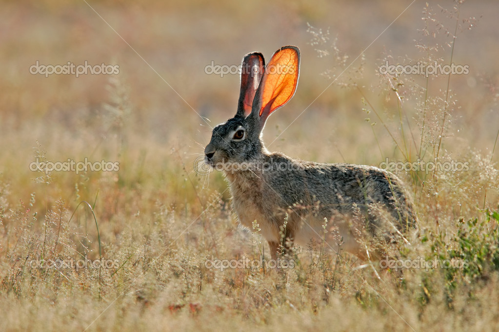 Alert scrub hare (Lepus saxatilis) among grass, Etosha National Park, Namibia, southern Africa 	  Stock Photo #5237585